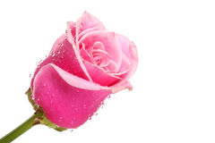 Rose. Royalty Free Stock Photo