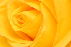 Rose. Royalty Free Stock Photo
