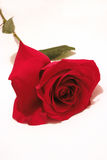 Rose. Red rose in the white background Stock Photos