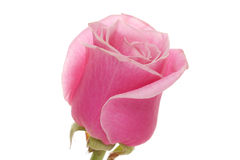 Rose. Stock Photography