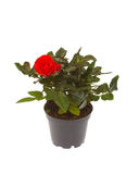 Rose. In pot isolated on white background Stock Images