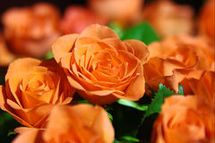 ROSE. Postcard, macro, details, colors Royalty Free Stock Photo