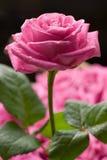 Rose. Stock Image