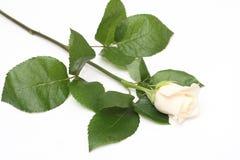 Rose. Creamy white rose on white background Stock Photos