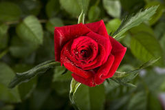 Rose. Red rose with drops ,symbol of love Stock Photography