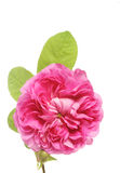 Rose. Flower and leaves against a white background royalty free stock images