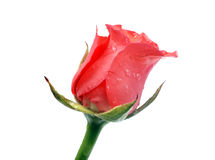 Rose. Red rose on white background with droplets Royalty Free Stock Photos