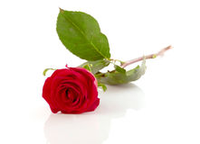 Rose. Red rose laying on a mirror, Isolated On White Royalty Free Stock Image