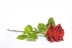 rose Fotografia Royalty Free