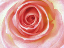 Rose lizenzfreie stockfotos