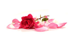 Rose (6). Pink/red rose; isolated; white background Stock Images