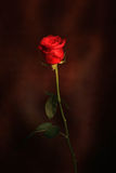 rose Fotografia Royalty Free