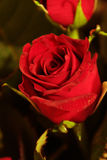 Rose. A red rose Stock Image