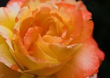 Rose. Orange and yellow rose isolated Stock Photo
