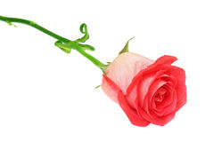 Rose. Red rose isolated on white background Stock Images