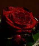 Rose 2 Stockfoto