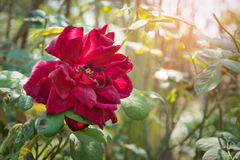 Rose Imagenes de archivo