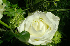 Rose. A white rose in the sunshine Royalty Free Stock Photo