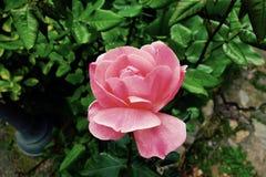 Rose Lizenzfreies Stockbild