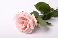 Rose. Beauty pink rose on white Royalty Free Stock Photography