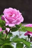 Rose Stockfoto