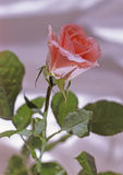 Rose Images libres de droits