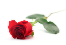 Rose. Red rose which is represented on a white background Stock Image