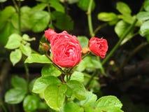 Rose Fotografía de archivo