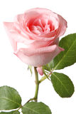 Rose. Pink rose isolated on white Stock Images