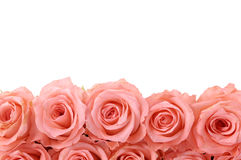 Rose Royalty Free Stock Photography