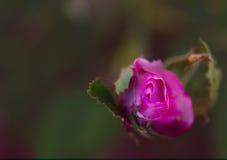 Rose Photo stock