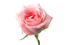 Rose. Pink rose isolated on white Royalty Free Stock Photography