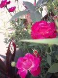 rose 2 Zdjęcie Stock