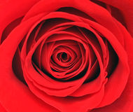 Rose. Background. A red rose. Background. A red rose Stock Image