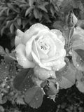 Rose Photographie stock libre de droits