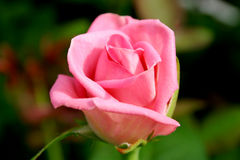 Rose. Pink rose, garden Stock Photography