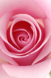 Rose Stock Images