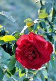 Rose Imágenes de archivo libres de regalías