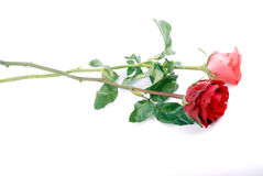 Rose. Red rose with green leaves on isolated background Stock Image