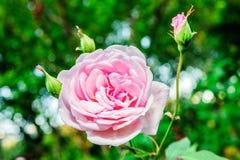 Rose fotografía de archivo libre de regalías