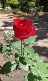 Rose Photo libre de droits