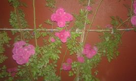 Rose Imagen de archivo