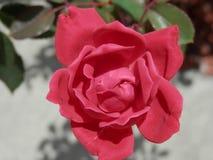 Rose fotos de archivo