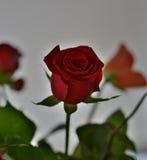 Rose 2 fotografía de archivo