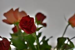 Rose 3 foto de archivo libre de regalías