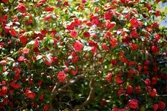 Rose Stockbilder