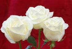 Rose. White rose on red background Royalty Free Stock Photo