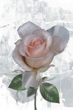 Rose on abstract background. Beautiful rose on abstract watercolor background Stock Photos