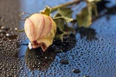 Rose Abstract secada I Fotografía de archivo libre de regalías