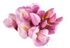 Rose acacia isolated Stock Image